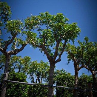 Prix en alg rie de u de arbre feuillage persistant for Faux olivier arbre